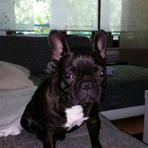 Pepper wurde gestern morgen in der Hans-Sachs-Straße gefunden und in die Tierarztpraxis - Buchheister gebracht. Dort hat man den Chip sofort ausgelesen,jedoch war dieser nicht registriert. Dann wurde man auf unsere Suche nach Pepper aufmerksam gemacht und