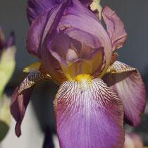 Iris lila 1