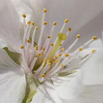 Säulenkirsche Blüte
