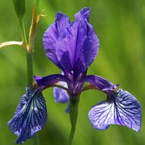 Iris blau