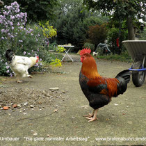 Das tägliche Leben am Hühnerhof.