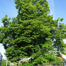 Winterlinde an der Gutenbergstraße, einer der letzten Bäume auf dem Gelände. Aufnahme-Datum: 21.05.2017