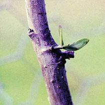 Nach der Einwachsung der Senker und dem Abfallen der Keimblätter bildet sich das 1. Laubblattpaar. Quelle: Nachrichten aus dem Garten, Seite 138