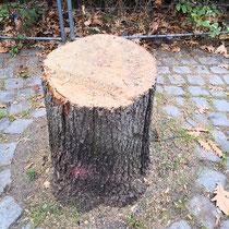 Baumstumpf einer gefällten Ungarischen Eiche, Aufnahme-Datum: 19.10.2018
