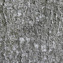 Typische graue Borke, Foto HK.; Aufnahme-Datum: 10.5.2018
