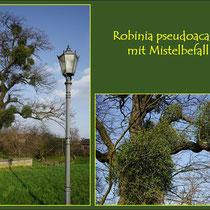 Miste auf Robinie (Robinia pseudoacacia) Fund Friemersheimer Kirche, in Duisburg-Friemersheim, Datum: 13.03.2018