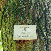 Falsche Beschilderung, Amerikanischer Amberbaum als Spitz-Ahorn, Foto HK.; Aufnahme-Datum: 17.10.2017