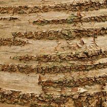 Rindenbild Vogelkirsche, Prunus avium