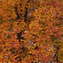 Kronenausschnitt in Herbstfarbe, Foto HK.; Aufnahme-Datum: 13.11.2012