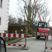 Platanenfällung (3) Hochfeldstr., 52, Foto B.Bevc