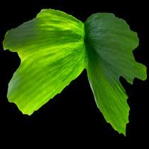 Mutation, Blatt-Verwachsung an einem Ginkgo-Blatt, Foto Copyright R. Bongart