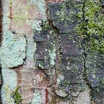 Flechten und Moose auf Berg-Ahorn, Acer pseudoplatanus