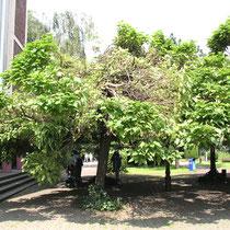 Trompetenbaum-Gruppe, Sturmschaden durch Tornado, Aufnahme-Datum: Juli 2005