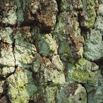 Krusten-Flechte auf sogenannter Brikett-Borke einer Moor-Birke, Betula pubescens
