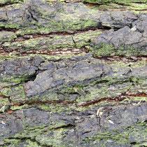 Flechten auf  Gewöhnlicher Kiefer, Pinus sylvestris