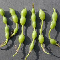 Detail Früchte mit unterschiedlicher Anzahl von Samenkammern, Foto HK.; Aufnahme-Datum: 31.08.2018