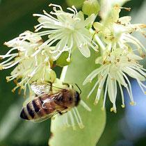 Biene bei der Nektar-Suche auf Blüten der Winter-Linde. Foto H.Kuhlen