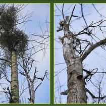 Absterbende Kanadische Pappeln (Populus canadensis), Fund Schutzpflanzung Duisburg-Rahm, Datum: 26.11.2018