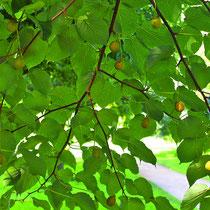 Reifender Fruchtbehang, Foto HK., Aufnahme-Datum: Juni 2009