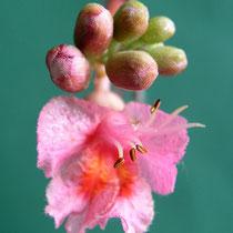 Einzelblüte mit Staubgefäßen und Saftmalen, mit dem Farbwechsel der Saftmale erkennen bestäubende Insekten, dass kein Nektar und Blütenstaub mehr zu holen ist, Foto HK.; Aufnahme-Datum: 17.05.2015