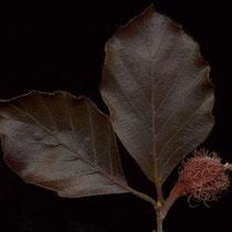 Blätter mit Einzelfrucht, Foto HK.; Aufnahme-Datum: 20.06.2014