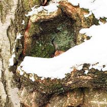 Schneebedeckte Veredlungsstelle einer Trauer-Birke, Betula pendula `Tristis`