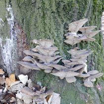 Stammbild mit Pilzbefall (Seitlinge) der Baum wäre kurzfristig abgestorben, HK. 28.11.2016