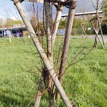 Mangelnde Baumpflege, abgefaulte Holzpfähle, vermehrt austreibende Wasserreiser, Foto H.Kuhlen., Aufnahme-Datum 17.04.2016