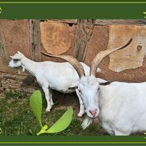 Misteln als Tierfutter lässt das Vieh feist und gesund werden.