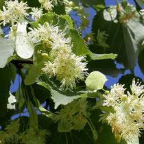 Zweigstück in der charakteristisch gelblichweißen Vollblüte. Foto H.Kuhlen