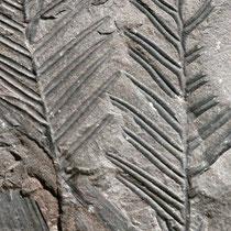 Fossiles Zweigstück von Metasequoia, Foto HK. Aufnahme-Datum. 02.09.2018