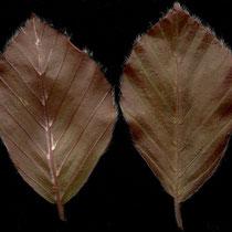 Blattrückseite (links) mit Achselbärtchen in den Nervenwinkel Blattvorderseite (rechts) mit Randhärchen, Foto HK.; Aufnahme-Datum: 01.04.2014