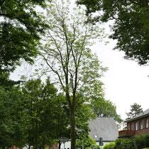Abgängiger Baum mit lichter Krone, Foto: HK., Aufnahme-Datum: 02.06.2018