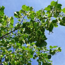 Zweig mit grünem Fruchtbehang. Aufnahme-Datum 21.07.2016.