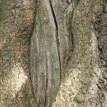 Totholz und Rinde Trompetenbaum, Catalpa bignonioides