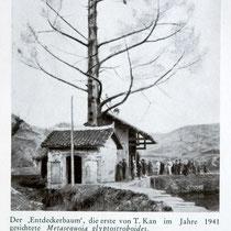 Foto des Entdeckerbaums im Jahre 1941. Bildquelle: MDDG Jahrbuch 1957/58