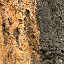 Blutungssaft einer gefällten Sand-Birke, Betula pendula