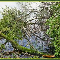 Durch Durch Überlast (Mistelbefall) umgebrochener Obstbaum, Fund NSG Friemersheimer Rheinaue, Datum: 27.01.2018