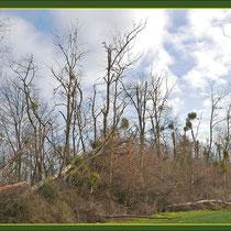 Mistel-Befall an absterbenden Kanadischen Pappeln (Populus canadensis), Fund Schutzpflanzung Duisburg-Rahm, Baggersee, Datum: 04.02.2018