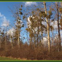 Misteln auf Kanadischer Pappel, (Populus canadensis), Fund Schutzpflanzung Duisburg-Rahm, Baggersee, Datum: