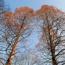 Beeinflusste Astentwicklung zweier dicht zusammenstehender Bäume, Foto HK.; Aufnahme-Datum: 27.03.2018