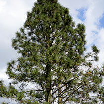 Obere Baumkrone leicht schütter, Baum in Feld II, 26.03.2021