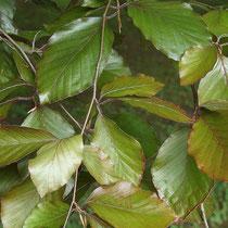 Zweig mit Schattenblättern, farblich mehr Grün als Rot,Foto HK.; Aufnahme-Datum: 14.06.2014
