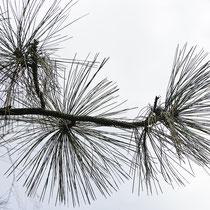 Zweigspitze mit der Benadelung von Baum in Feld II, 26.03.2021