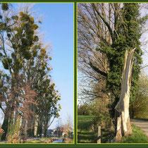 Mistel-Befall auf Kanadischen Pappeln (Populus canadensis), Blitzschaden an Pappel, Fund Angermund, Angerbach, Datum: 11.12.2018