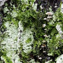 Pilze, Krusten-Flechten, Moose auf Rot-Buche, Fagus sylvatica