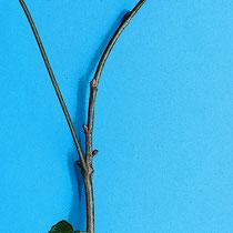 Zweigstück A mit sympodialen Verzweigungsmuster. Nach dem Verlust der Endknospen absterbende Triebspitzen 1 u. 2. Die Seitenknospe 3 übernimmt die Achsenverlängerung.