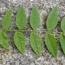 Blattoberseite Farbe dunkelgrün, Foto HK.; Aufnahme-Datum: