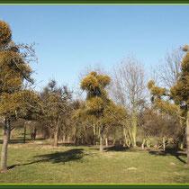 Starker Mistel-Befall auf Obstbäumen einer Streuobstwiese, Fund NSG Friemersheimer Rheinaue,  Datum: 13.03.2016