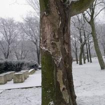 Durch Rindenkrankheit absterbender Götterbaum, Aufnahme-Datum: 01.01.2009